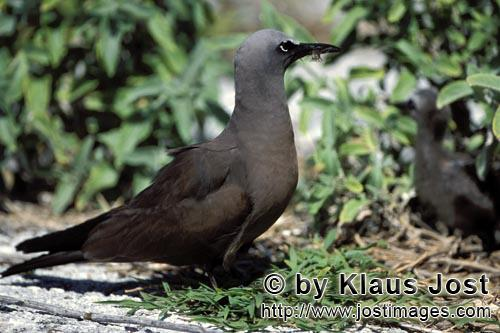 Noddy-Seeschwalbe/Brown Noddy/Anous stolidus pileatus        Brown Noddy on the ground        The <b