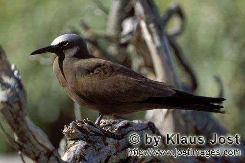 Noddy-Seeschwalbe/Brown Noddy/Anous stolidus pileatus        Brown Noddy on the tree        The B