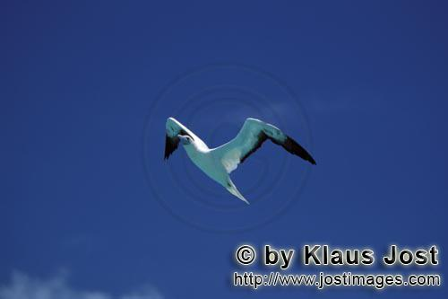 Rotfußtoelpel/Red-footed Booby/Sula sula Flying Red-footed Boobys