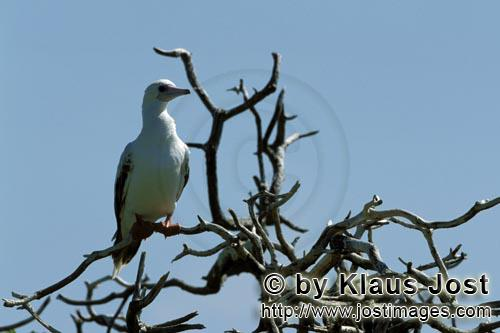 Rotfußtoelpel/Red-footed Booby/Sula sula         Red-footed Booby on the tree