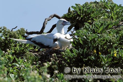 Rotfußtoelpel/Red-footed Booby/Sula sula Red-footed Booby with chick
