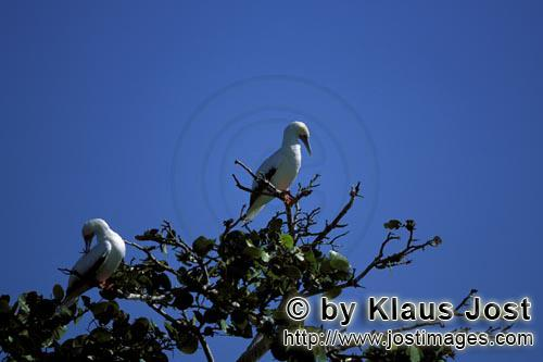 Rotfußtoelpel/Red-footed Booby/Sula sula         Red-footed Boobys on the tree