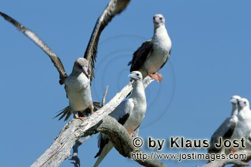 Rotfußtoelpel/Red-footed Booby/Sula sula Red-footed Boobies on the tree