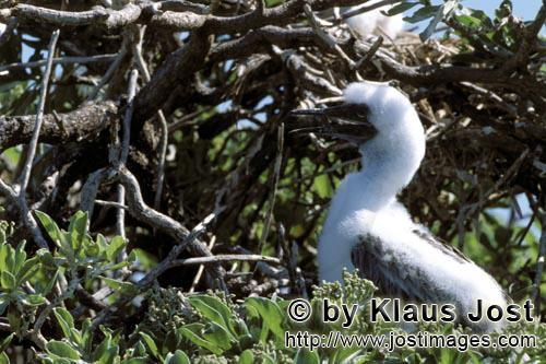 Rotfußtoelpel/Red-footed Booby/Sula sula         Red-footed Booby chick