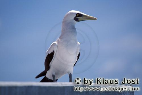 Maskentoelpel/Masked Booby/Sula dactylatra        Masked Booby on a Navigation Sign Tower