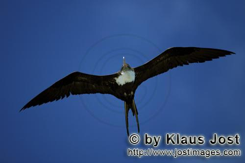 Great Frigatebird/Fregata minor        Great Frigatebird in flight