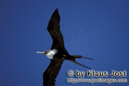Great Frigatebird/Fregata minor palmerstoni         Flying Great Frigatebird