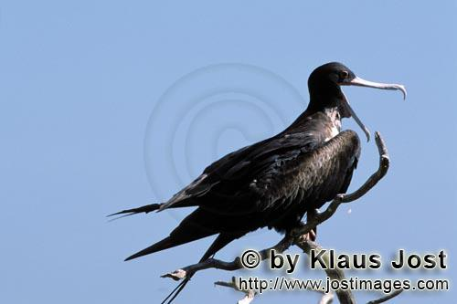 Great Frigatebird/Fregata minor palmerstoni