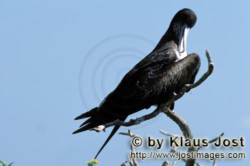 Great Frigatebird/Fregata minor palmerstoni         Great Frigatebird