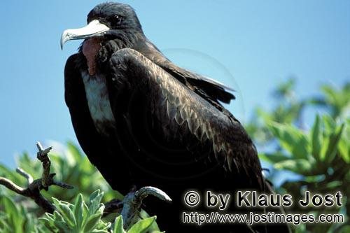 Bindenfregattvogel/Great Frigatebird/Fregata minor         Great Frigatebird