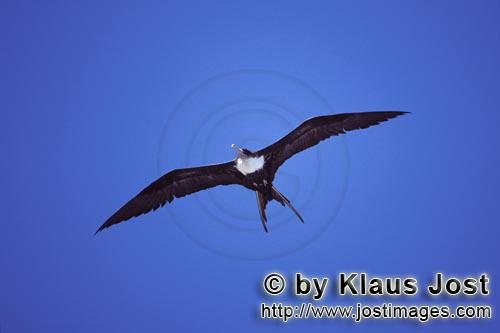 Great Frigatebird/Fregata minor palmerstoni         Great Frigatebird hovering over the sea