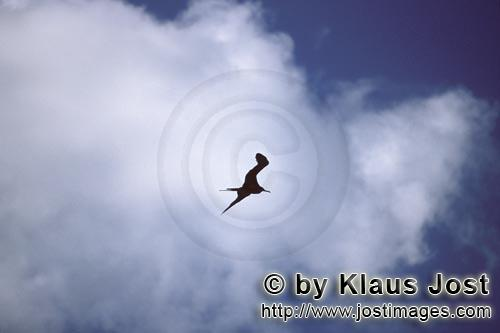 Great Frigatebird/Fregata minor palmerstoni         Great Frigatebird against white clouds