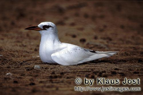 Rotschwanz-Tropikvogel/Red-tailed tropicbird/ Phaeton rubricaudaRed-tailed tropicbird on the ground