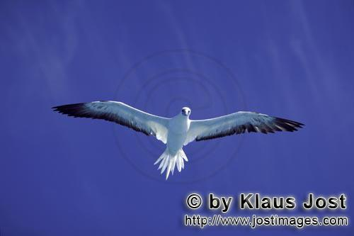 Rotfußtoelpel/Red-footed Booby/Sula sula         Red-footed Booby on the deep blue midway sky