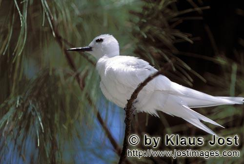White tern/Gygis alba rothschildi        White tern surrounded by a branch        The name of this g