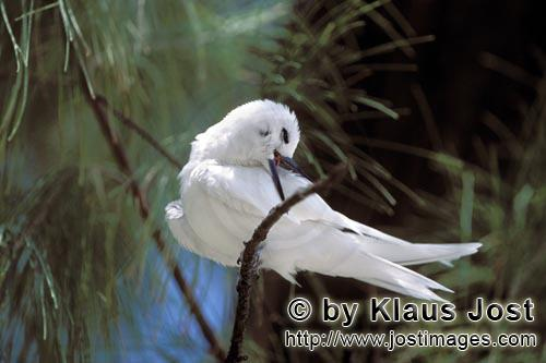 Feenseeschwalbe/White tern/Gygis alba rothchildi        White tern on a midway tree        The name