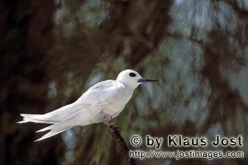 White tern/Gygis alba rothschildi        White tern on on a branch        The name of this graceful,