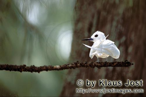White tern/Gygis alba rothschildi        on a Midway Island        The name of this graceful, delica