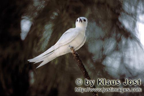 White tern/Gygis alba rothschildi        White tern at the end of the branch        The name of this