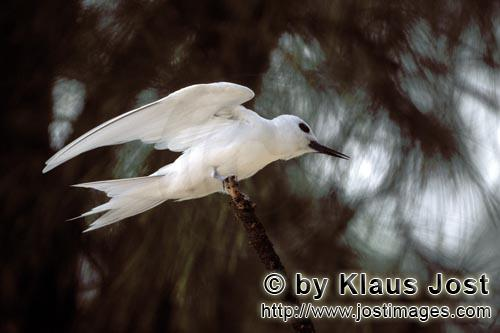 Feenseeschwalbe/White tern/Gygis alba rothchildi        White tern on the tree         The name of t
