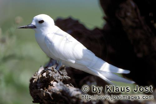 White tern/Gygis alba rothschildi        White tern on tree stump         The name of this graceful,