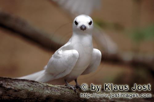White tern/Gygis alba rothschildi        Graceful White tern         The name of this graceful, deli