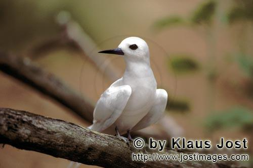 White tern/Gygis alba rothschildi        White tern on a branch        The name of this graceful, de