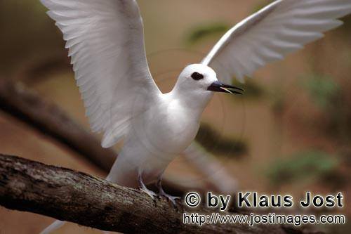 Feenseeschwalbe/White tern/Gygis alba rothchildi        White tern with outstretched wings         T