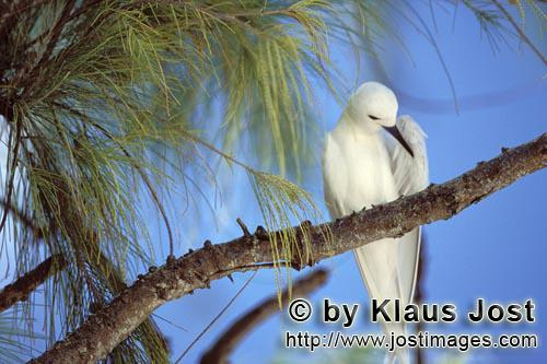 Feenseeschwalbe/White tern/Gygis alba rothchildi        White tern on the tree        The name of th