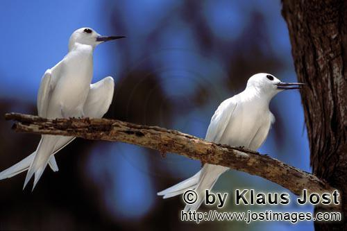 Feenseeschwalbe/White tern/Gygis alba rothchildi        White terns on the tree        The name of this gra