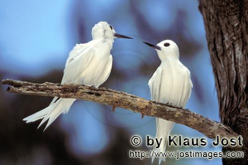 Feenseeschwalbe/White tern/Gygis alba rothchildi        White terns on the tree         The name of