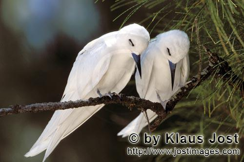 White tern/Gygis alba rothschildi        Resting White terns        The name of this graceful, delic