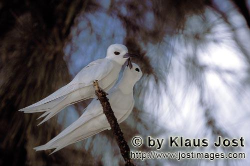 Feenseeschwalbe/White tern/Gygis alba rothchildi        White terns on the tree        The name of t