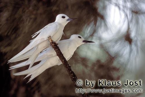 Feenseeschwalbe/White tern    Gygis alba rothchildi            White terns on the tree        The name of this