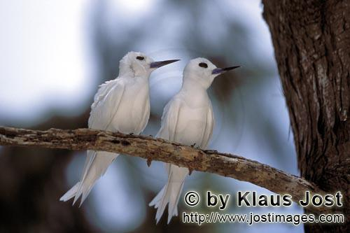 Feenseeschwalbe/White tern    Gygis alba rothchildi        White terns on the tree        The name of this gr