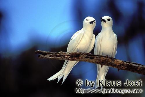 White tern/Gygis alba rothschildi        Two White terns        The name of this graceful, delicate,