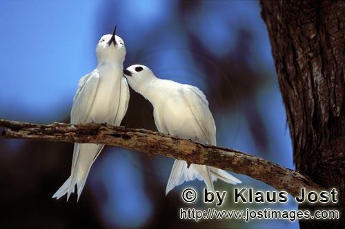 White tern/Gygis alba rothschildi        White terns feel well        The name of this graceful, de
