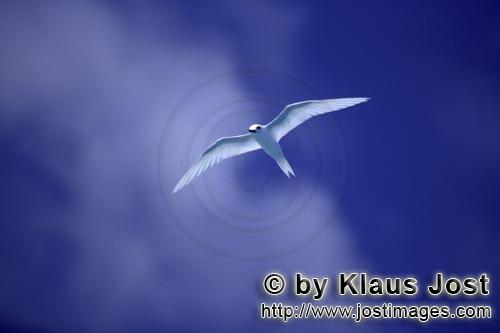 White tern/Gygis alba rothschildi        White tern on the midway sky         The name of this grace