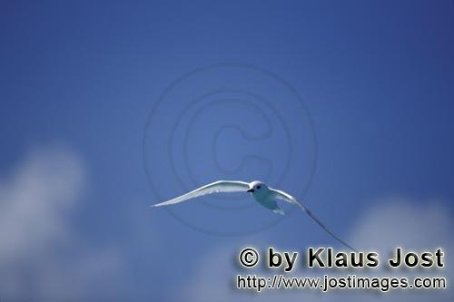 White tern/Gygis alba rothschildi        Flying White tern         The name of this graceful, delica
