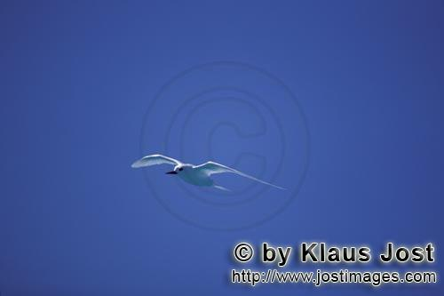 Feenseeschwalbe/White tern/Gygis alba rothchildi        White tern in front of blue Midway sky