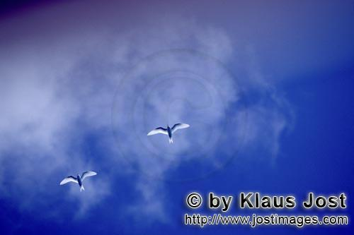 Feenseeschwalbe/White tern/Gygis alba rothchildi        White terns on the midway sky         The na