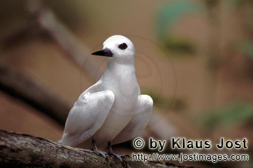 White tern/Gygis alba rothschildi        White tern on the tree         The name of this graceful, d