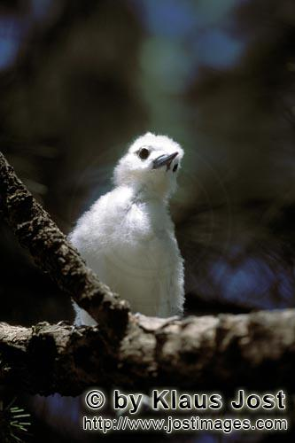 Feenseeschwalbe/White tern/Gygis alba rothchildi        White tern chick on the tree        The name