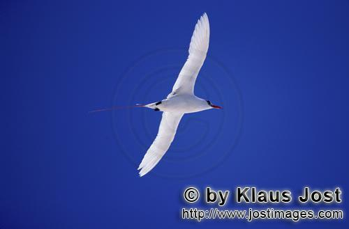 Rotschwanz-Tropikvogel/Red-tailed tropicbird/Rhaethon rubicauda        Red-tailed tropicbird on the