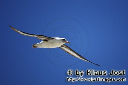 Laysan-Albatros/Laysan albatross/Phoebastria immutabilis        Flying Laysan albatross over the sea