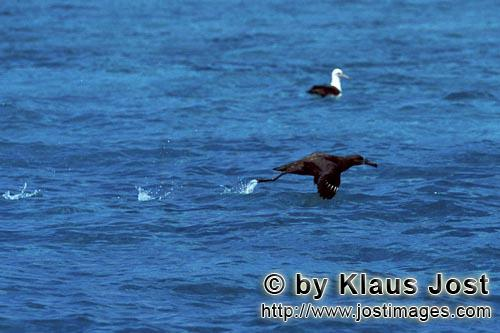 Schwarzfuß-Albatros/Blackfooted albatross/Phoebastria nigripes         Blackfooted albatross take o