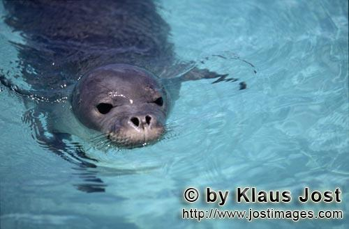 Hawaiian monk seal/Monachus schauinslandi        Hawaiian monk seal portrait        The Hawaiian