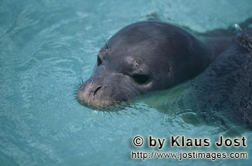 Hawaiian monk seal/Monachus schauinslandi        Hawaiian monk seal near a coral atoll in the Pacifi