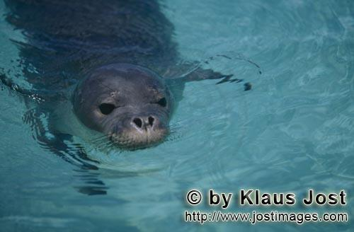 Hawaiian monk seal/Monachus schauinslandi        Hawaiian monk seals are listed as endangered