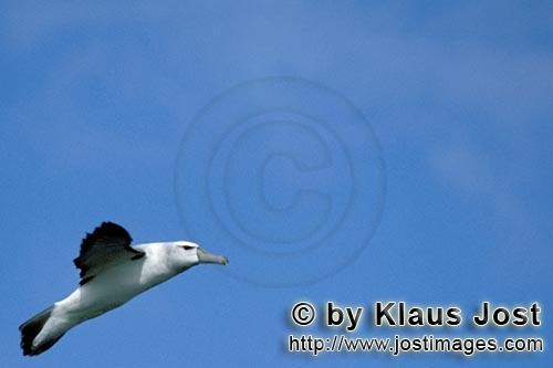 Schwarzbrauenalbatros/Black-browed Albatross/Diomedea melanophris            Flying Black-browed Albatros